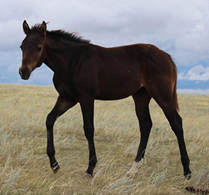 2016 brown stallion by Ninety Nine Goldmine out of own daughter of Dash Ta Fame